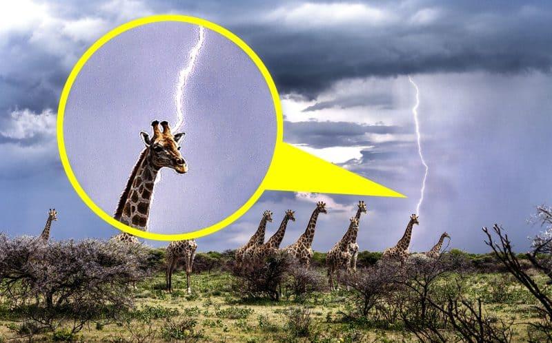 При определенных обстоятельствах рост жирафа может увеличить риск смерти от удара молнии