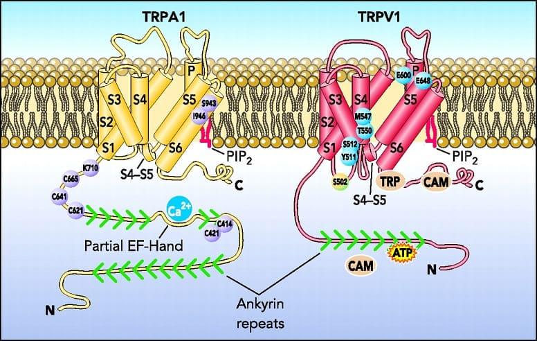 TRPV1 и TRPA1