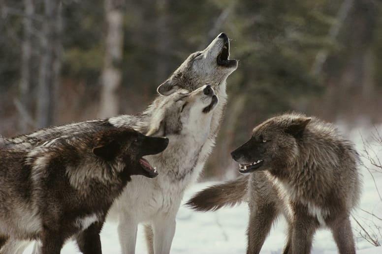 Волки, временно прекратившие войну