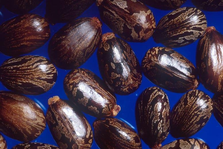 Рицин - яд растительного происхождения
