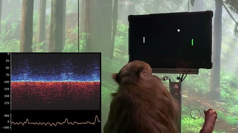 Обезьяна с чипом в мозге играет в MindPong. Neuralink производит впечатление