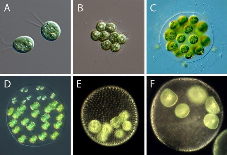 Chlamydomonas reinhardtii